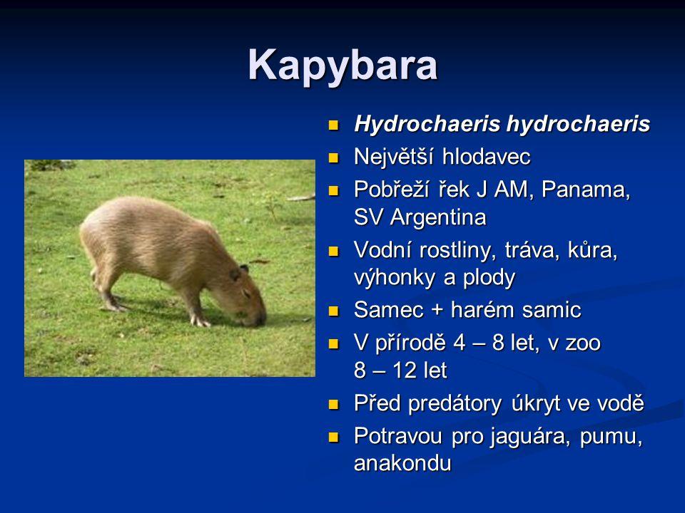 Kapybara Hydrochaeris hydrochaeris Největší hlodavec Pobřeží řek J AM, Panama, SV Argentina Vodní rostliny, tráva, kůra, výhonky a plody Samec + harém samic V přírodě 4 – 8 let, v zoo 8 – 12 let Před predátory úkryt ve vodě Potravou pro jaguára, pumu, anakondu