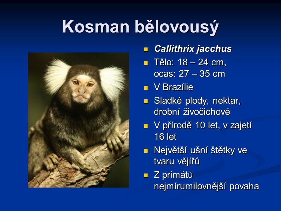 Kosman bělovousý Callithrix jacchus Tělo: 18 – 24 cm, ocas: 27 – 35 cm V Brazílie Sladké plody, nektar, drobní živočichové V přírodě 10 let, v zajetí 16 let Největší ušní štětky ve tvaru vějířů Z primátů nejmírumilovnější povaha