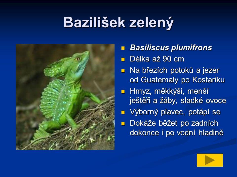 Bazilišek zelený Basiliscus plumifrons Délka až 90 cm Na březích potoků a jezer od Guatemaly po Kostariku Hmyz, měkkýši, menší ještěři a žáby, sladké ovoce Výborný plavec, potápí se Dokáže běžet po zadních dokonce i po vodní hladině