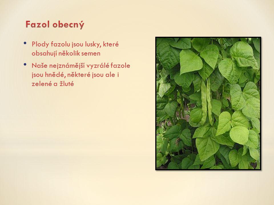 Plody fazolu jsou lusky, které obsahují několik semen Naše nejznámější vyzrálé fazole jsou hnědé, některé jsou ale i zelené a žluté