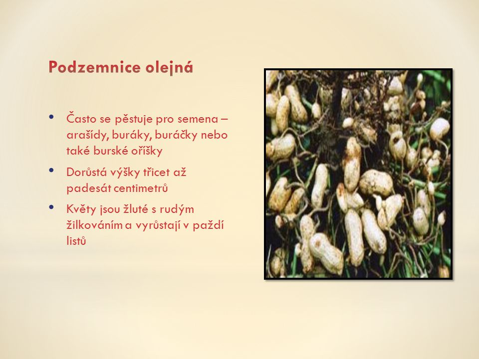 Často se pěstuje pro semena – arašídy, buráky, buráčky nebo také burské oříšky Dorůstá výšky třicet až padesát centimetrů Květy jsou žluté s rudým žil