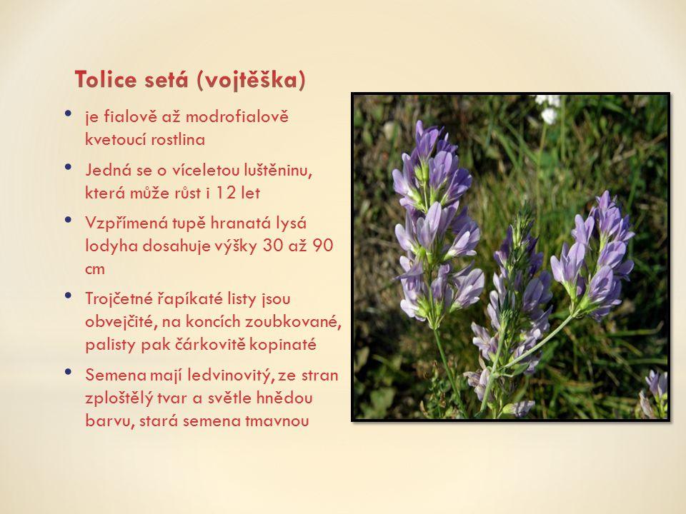 je fialově až modrofialově kvetoucí rostlina Jedná se o víceletou luštěninu, která může růst i 12 let Vzpřímená tupě hranatá lysá lodyha dosahuje výšk