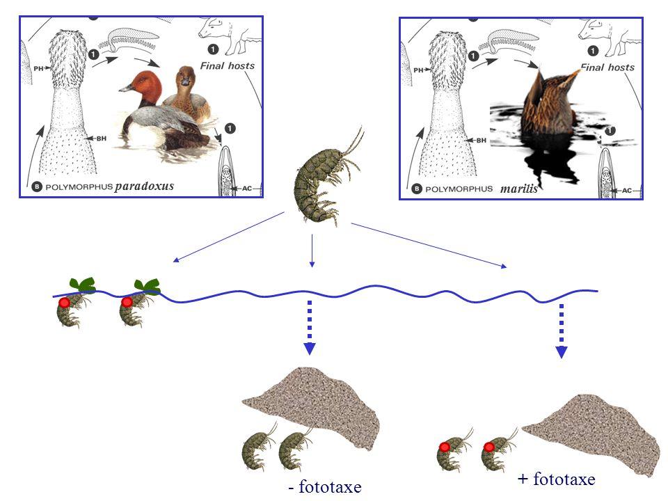 paradoxus marilis + fototaxe - fototaxe