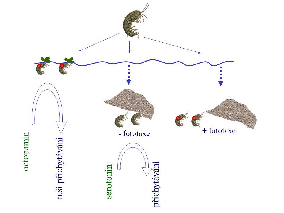 + fototaxe octopamin ruší přichytávání serotonin přichytávání