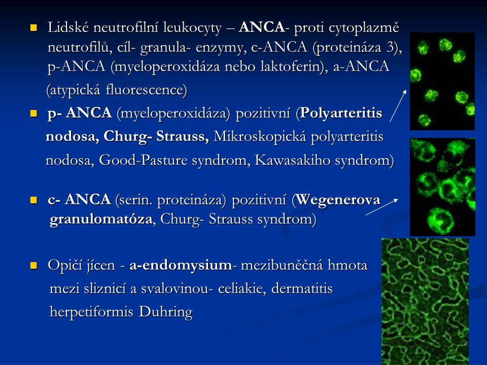 Lidské neutrofilní leukocyty – ANCA- proti cytoplazmě neutrofilů, cíl- granula- enzymy, c-ANCA (proteináza 3), p-ANCA (myeloperoxidáza nebo laktoferin