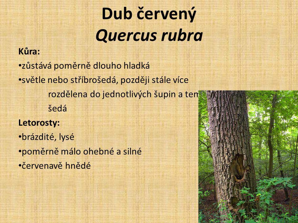 Dub červený Quercus rubra Kůra: zůstává poměrně dlouho hladká světle nebo stříbrošedá, později stále více rozdělena do jednotlivých šupin a temněji šedá Letorosty: brázdité, lysé poměrně málo ohebné a silné červenavě hnědé