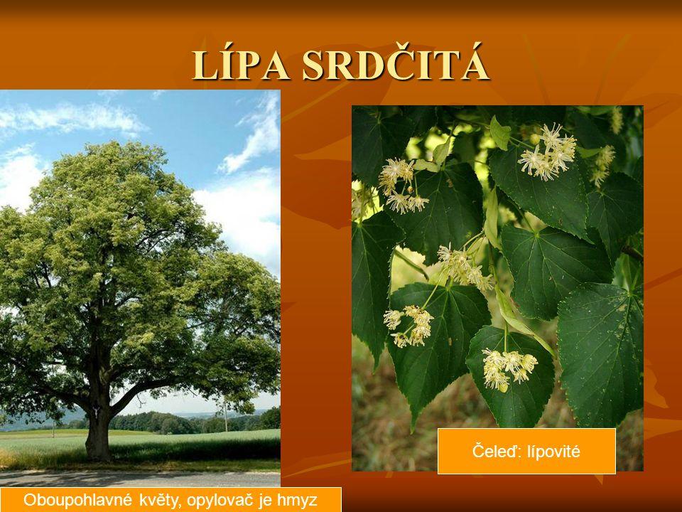 LÍPA SRDČITÁ Oboupohlavné květy, opylovač je hmyz Čeleď: lípovité
