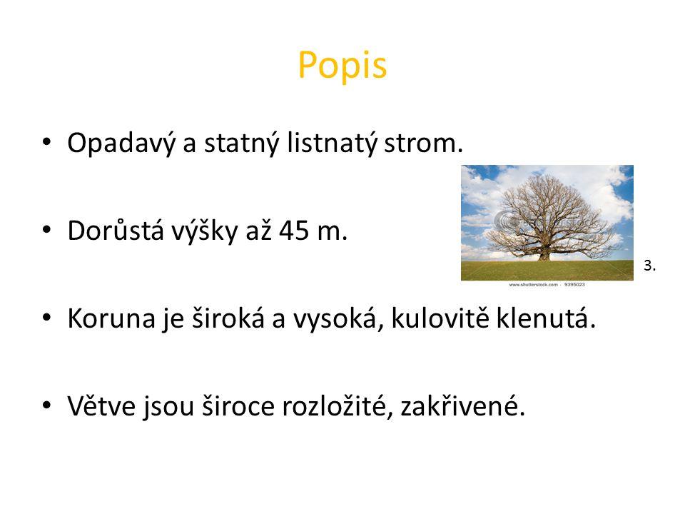 Popis Opadavý a statný listnatý strom. Dorůstá výšky až 45 m. Koruna je široká a vysoká, kulovitě klenutá. Větve jsou široce rozložité, zakřivené. 3.