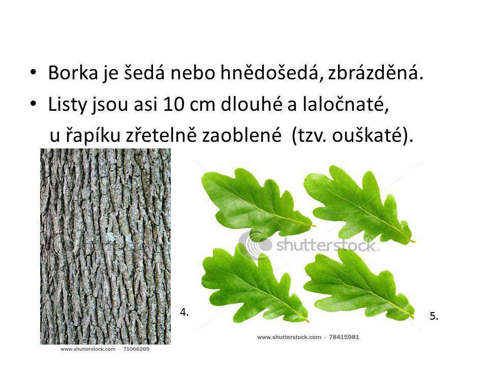 Borka je šedá nebo hnědošedá, zbrázděná. Listy jsou asi 10 cm dlouhé a laločnaté, u řapíku zřetelně zaoblené (tzv. ouškaté). 4. 5.