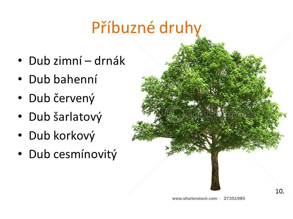Příbuzné druhy Dub zimní – drnák Dub bahenní Dub červený Dub šarlatový Dub korkový Dub cesmínovitý 10.