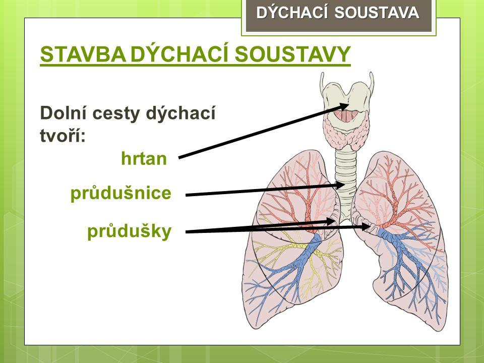 DÝCHACÍ SOUSTAVA STAVBA DÝCHACÍ SOUSTAVY Dolní cesty dýchací tvoří: hrtan průdušnice průdušky