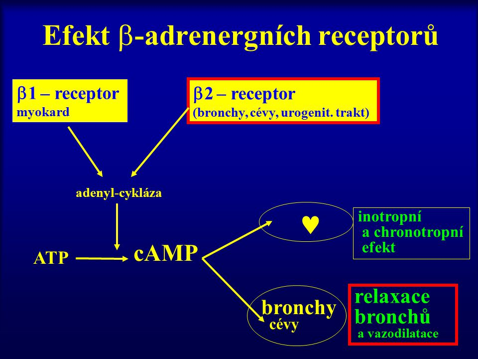 Efekt  -adrenergních receptorů  1 – receptor myokard  2 – receptor (bronchy, cévy, urogenit. trakt) adenyl-cykláza ATP cAMP bronchy cévy inotropní