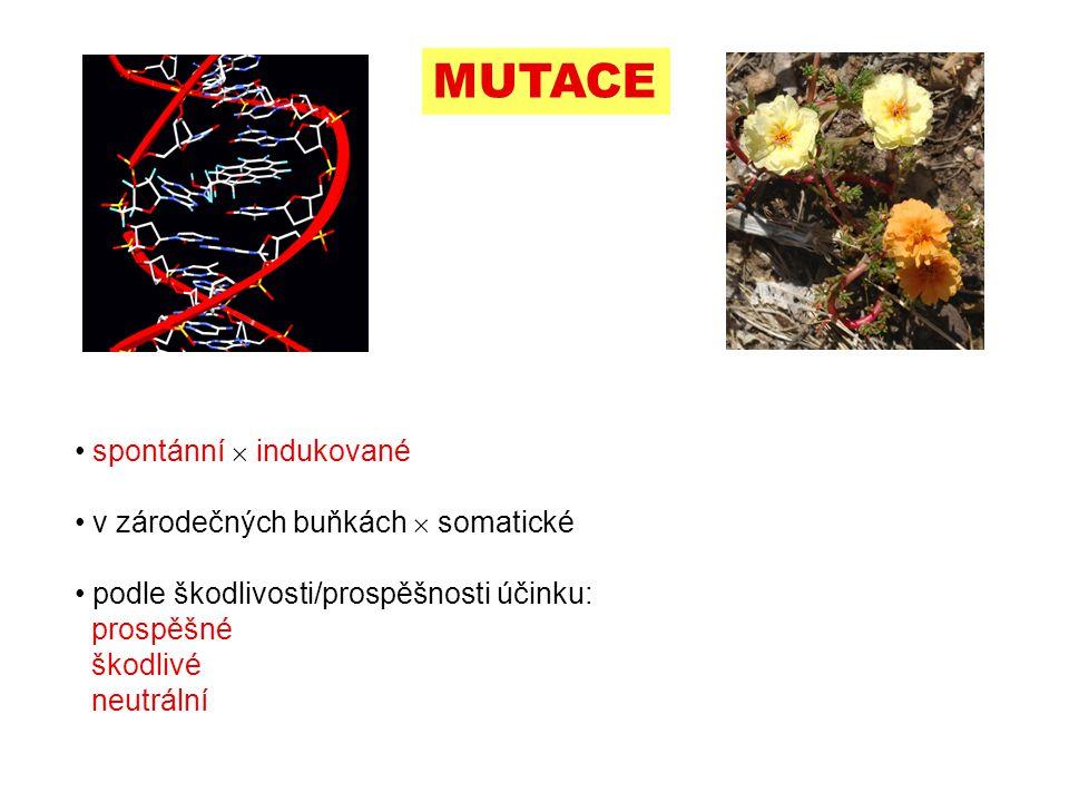 Leavenworthia alabamica hybrid vigour (heteróze) Rudolf II.