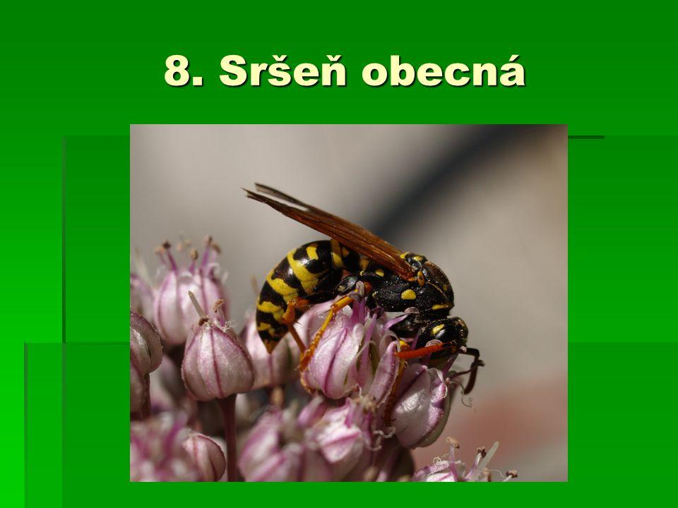 8. Sršeň obecná