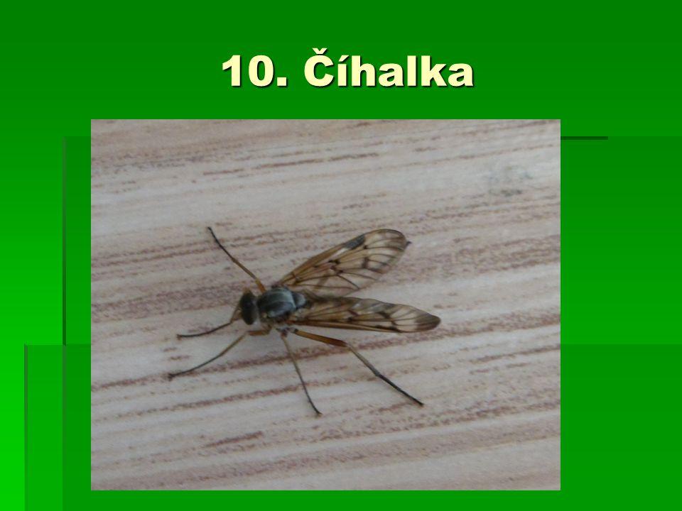 10. Číhalka