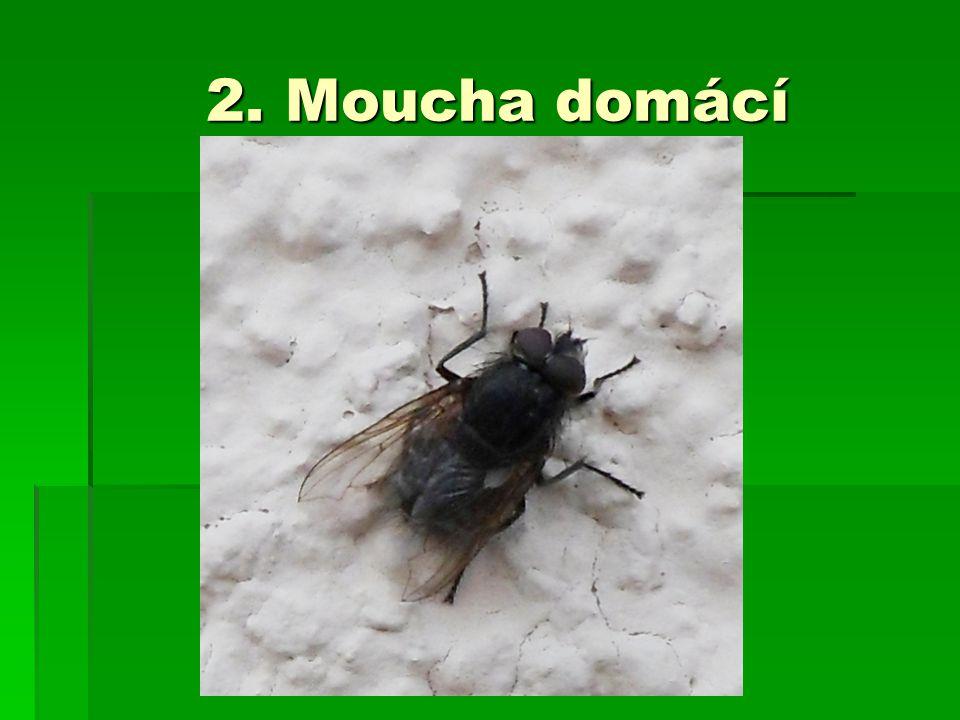 2. Moucha domácí 2. Moucha domácí