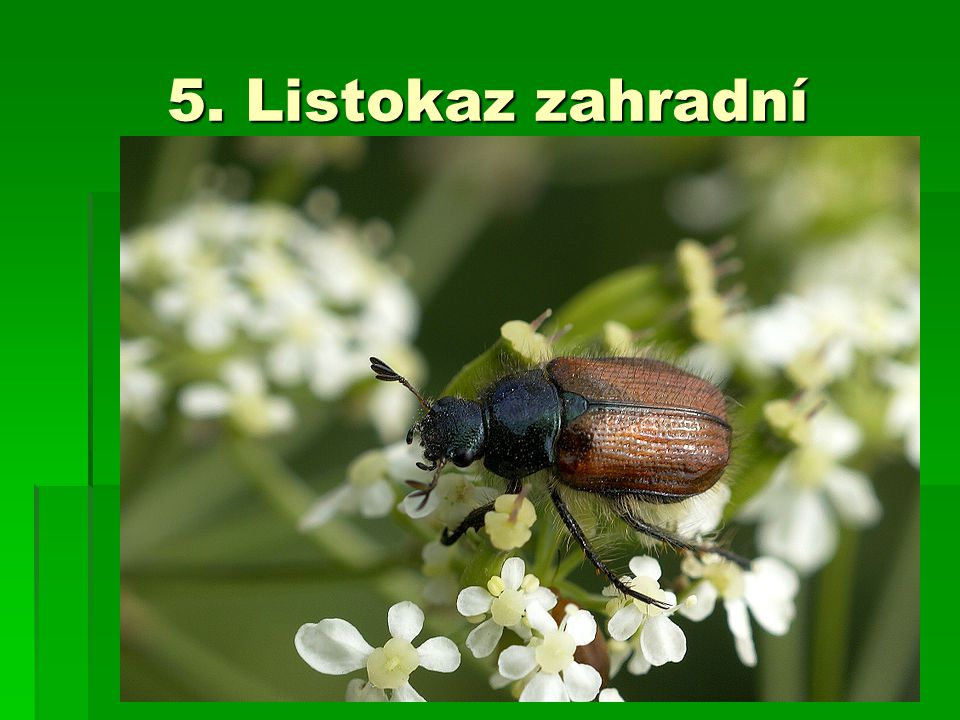 5. Listokaz zahradní