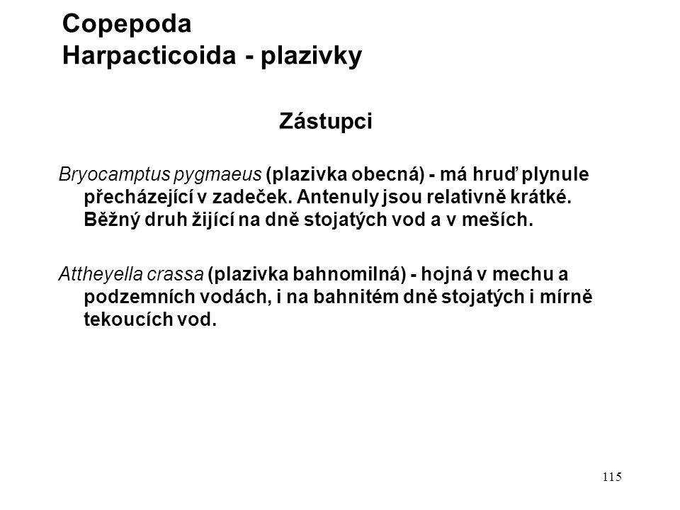 115 Zástupci Bryocamptus pygmaeus (plazivka obecná) - má hruď plynule přecházející v zadeček.