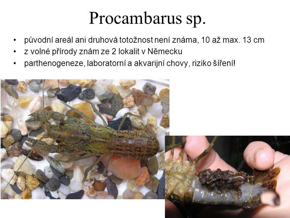 Procambarus sp.původní areál ani druhová totožnost není známa, 10 až max.