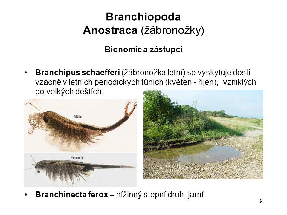 9 Bionomie a zástupci Branchipus schaefferi (žábronožka letní) se vyskytuje dosti vzácně v letních periodických tůních (květen - říjen), vzniklých po velkých deštích.