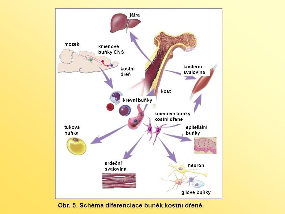 játra kmenové buňky CNS epiteliální buňky kmenové buňky kostní dřeně kosterní svalovina kostní dřeň kost mozek neuron gliové buňky srdeční svalovina tuková buňka krevní buňky Obr.