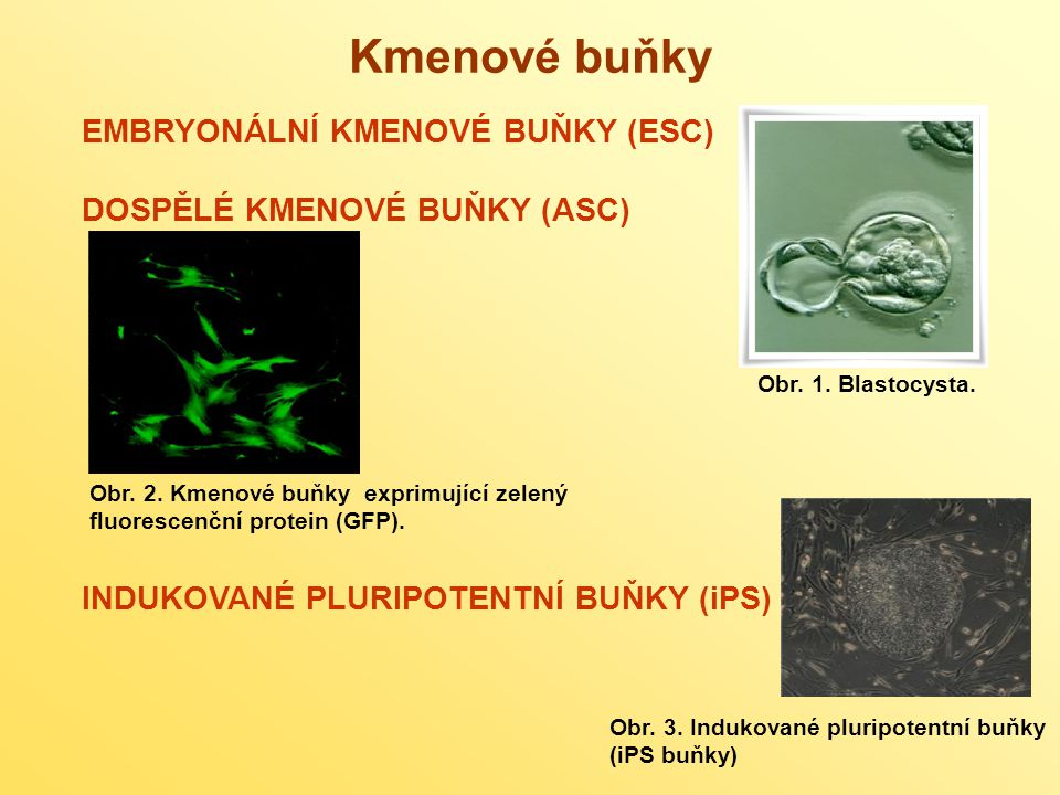 EMBRYONÁLNÍ KMENOVÉ BUŇKY (ESC – embryonic stem cells) celý organismus se vyvíjí z jediné totipotentní buňky (zygoty), která vzniká po oplození vajíčka spermií totipotentní buňka má schopnost dát vznik jakémukoli typu tkáně včetně tkáně embryonální, obsahuje kompletní genetickou informaci pro celý organismus v průběhu embryonálního dělení se schopnost totipotence ztrácí