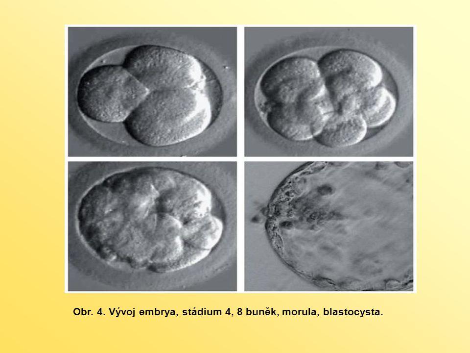 nediferencované buňky, přetrvávají i v již vyvinutých a fungujících tkáních patří mezi buňky multipotentní na základě různých signálů se mohou přeměnit pouze na některé buněčné typy - umožňují průběžnou údržbu celého těla každý orgán a každá tkáň v dospělosti obsahuje malou subpopulaci buněk schopných sebeobnovy jsou to buňky nepostradatelné pro hojení poškozených částí těla, pro procesy obnovení jejich funkce a pro správný průběh imunitních reakcí organismu DOSPĚLÉ KMENOVÉ BUŇKY (ASC- adult stem cells)