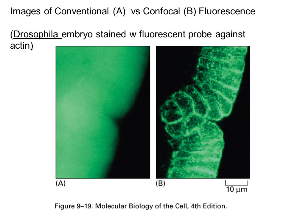 Images of Conventional (A) vs Confocal (B) Fluorescence (Drosophila embryo stained w fluorescent probe against actin)