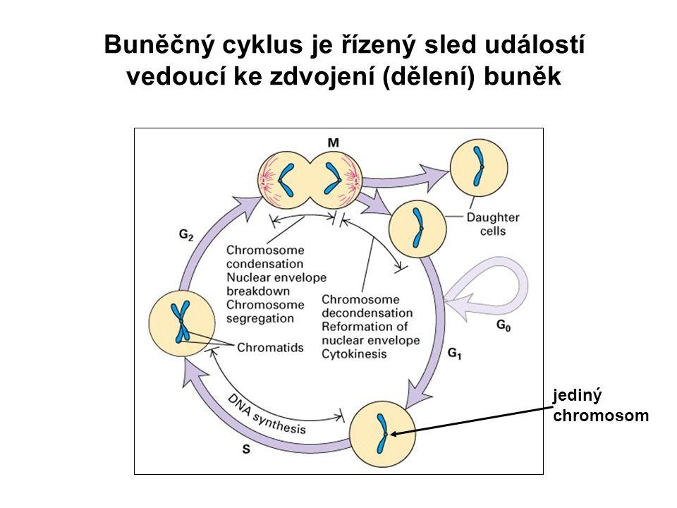 Buněčný cyklus je řízený sled událostí vedoucí ke zdvojení (dělení) buněk jediný chromosom