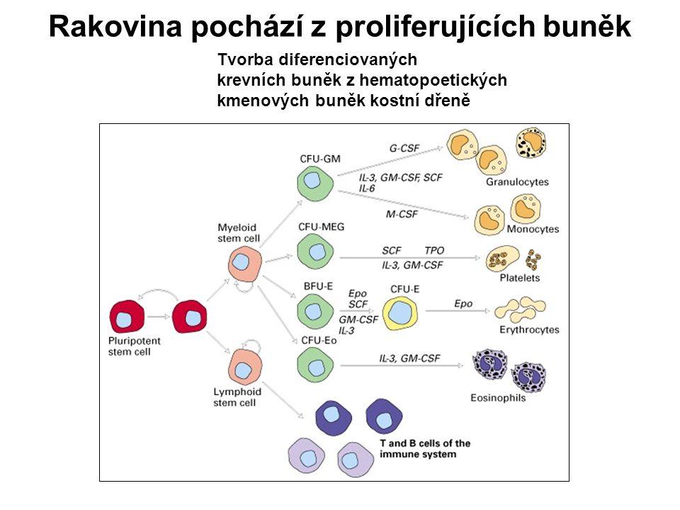 Rakovina pochází z proliferujících buněk Tvorba diferenciovaných krevních buněk z hematopoetických kmenových buněk kostní dřeně