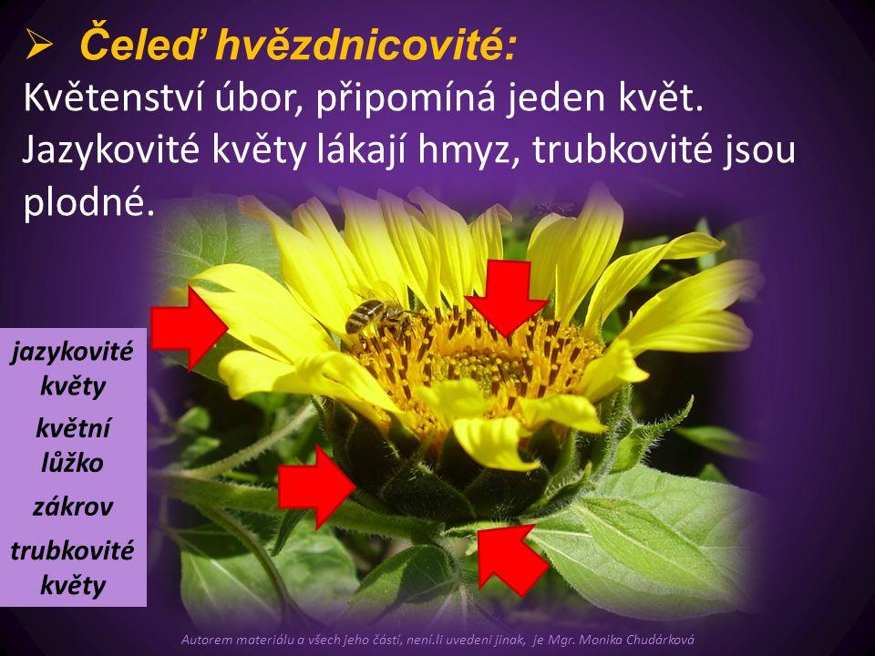  Čeleď hvězdnicovité: Květenství úbor, připomíná jeden květ. Jazykovité květy lákají hmyz, trubkovité jsou plodné. trubkovité květy jazykovité květy