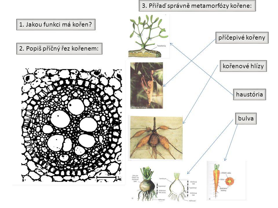 1. Jakou funkci má kořen? 2. Popiš příčný řez kořenem: haustória příčepivé kořeny kořenové hlízy bulva 3. Přiřaď správně metamorfózy kořene: