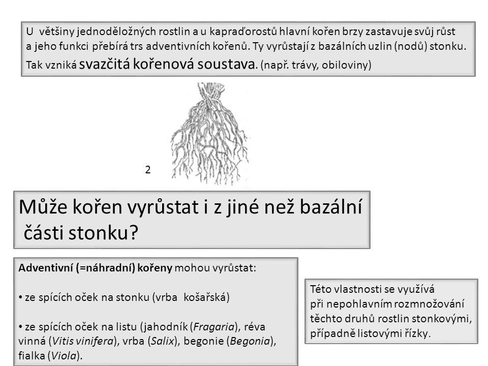 Adventivní (=náhradní) kořeny mohou vyrůstat: ze spících oček na stonku (vrba košařská) ze spících oček na listu (jahodník (Fragaria), réva vinná (Vit