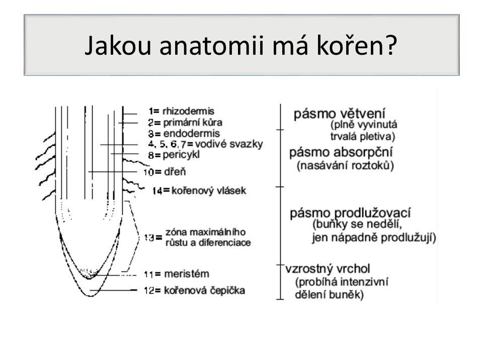 Jakou anatomii má kořen?