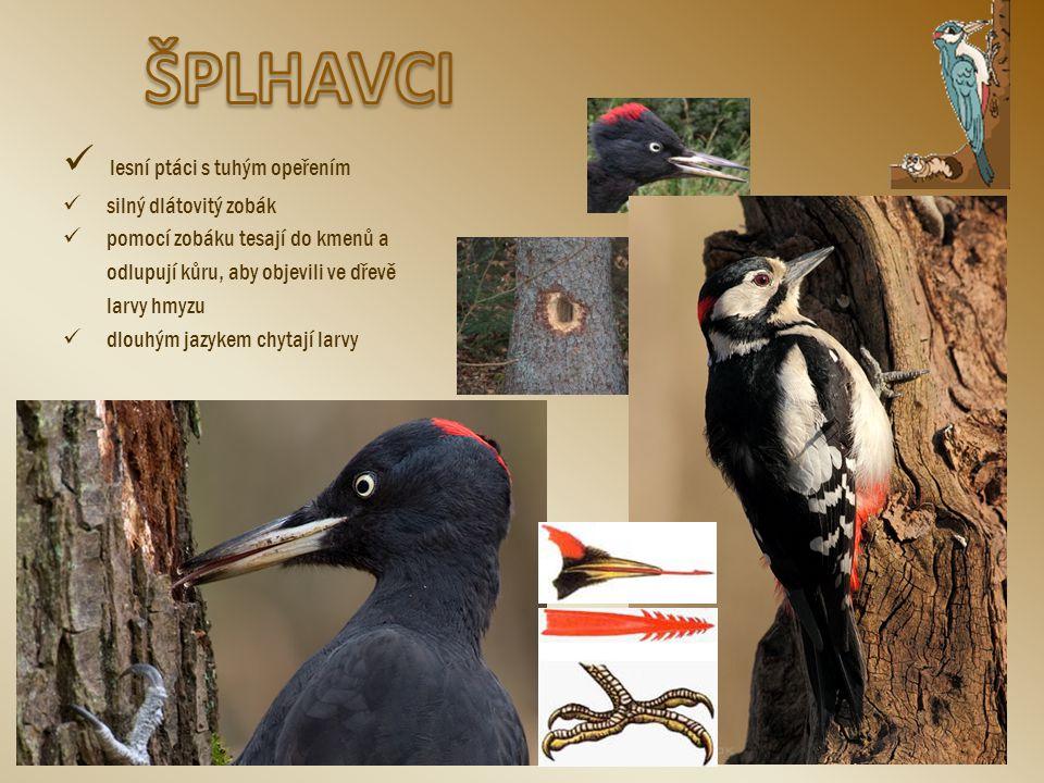 lesní ptáci s tuhým opeřením silný dlátovitý zobák pomocí zobáku tesají do kmenů a odlupují kůru, aby objevili ve dřevě larvy hmyzu dlouhým jazykem ch