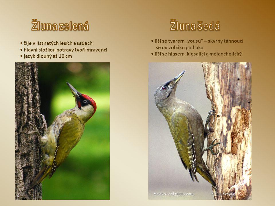 """žije v listnatých lesích a sadech hlavní složkou potravy tvoří mravenci jazyk dlouhý až 10 cm liší se tvarem """"vousu"""" – skvrny táhnoucí se od zobáku po"""