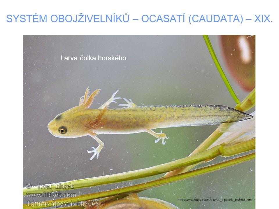 SYSTÉM OBOJŽIVELNÍKŮ – OCASATÍ (CAUDATA) – XIX. Larva čolka horského. http://www.hlasek.com/triturus_alpestris_bh3668.html