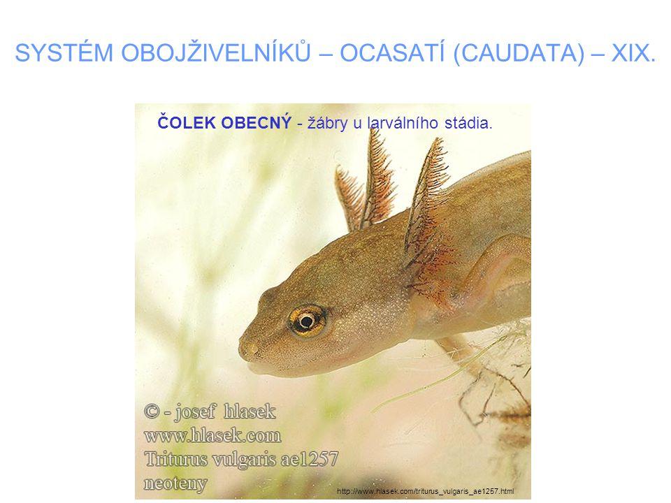 SYSTÉM OBOJŽIVELNÍKŮ – OCASATÍ (CAUDATA) – XIX. ČOLEK OBECNÝ - žábry u larválního stádia. http://www.hlasek.com/triturus_vulgaris_ae1257.html