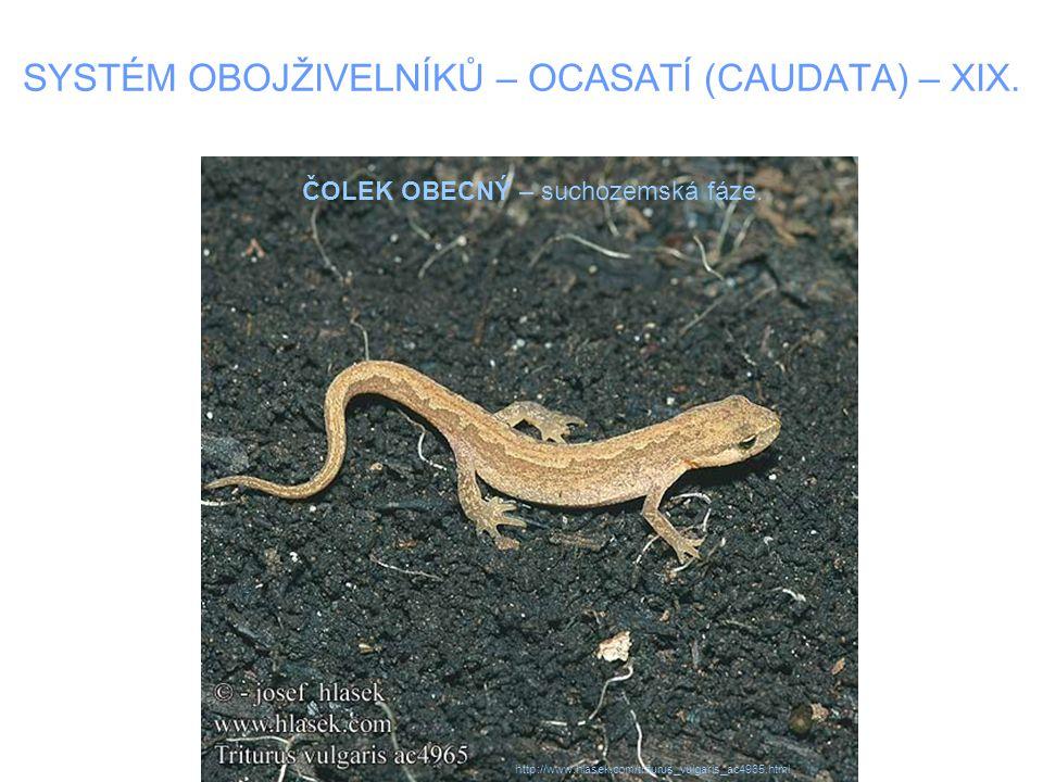 SYSTÉM OBOJŽIVELNÍKŮ – OCASATÍ (CAUDATA) – XIX.ČOLEK VELKÝ –Dosahují délky až 18 cm.
