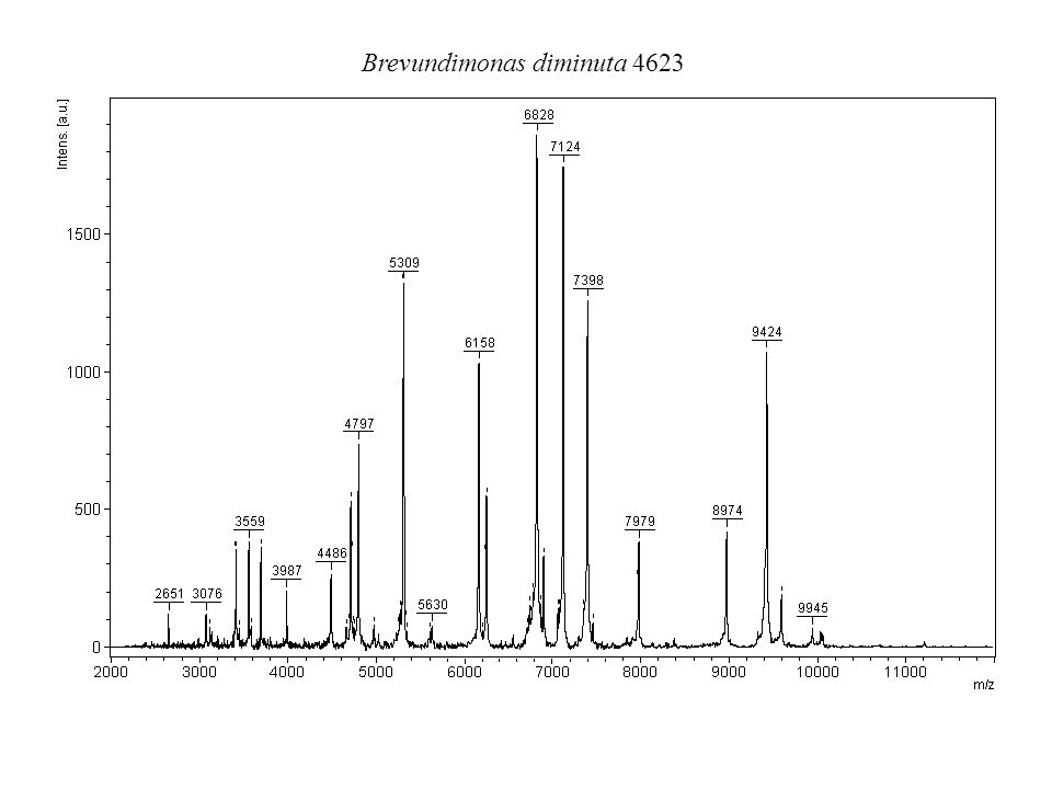 Corynebacterium glutamicum 2428 T
