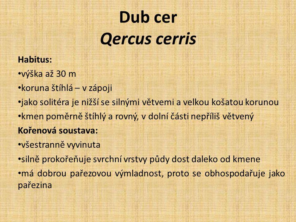 Dub cer Qercus cerris Habitus: výška až 30 m koruna štíhlá – v zápoji jako solitéra je nižší se silnými větvemi a velkou košatou korunou kmen poměrně štíhlý a rovný, v dolní části nepříliš větvený Kořenová soustava: všestranně vyvinuta silně prokořeňuje svrchní vrstvy půdy dost daleko od kmene má dobrou pařezovou výmladnost, proto se obhospodařuje jako pařezina