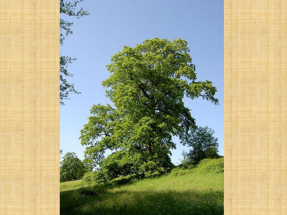 Dub cer Qercus cerris Kůra: hnědošedá, poměrně brzo se začíná vytvářet podélně hluboko rozpukaná borka z našich dubů má nejvíc tlustou borku v puklinách rezavohnědá barva Letorosty: silné, šedozelené