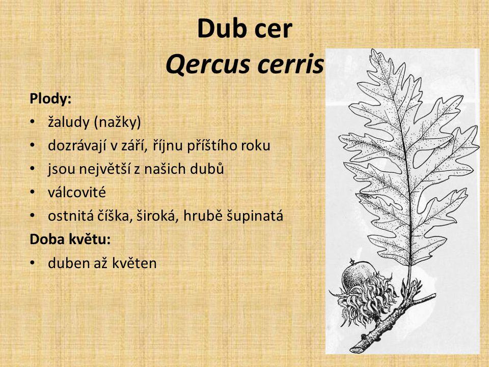 Dub cer Qercus cerris Plody: žaludy (nažky) dozrávají v září, říjnu příštího roku jsou největší z našich dubů válcovité ostnitá číška, široká, hrubě šupinatá Doba květu: duben až květen