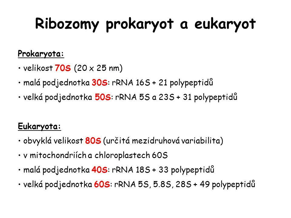 Ribozomy prokaryot a eukaryot Prokaryota: velikost 70S (20 x 25 nm) malá podjednotka 30S: rRNA 16S + 21 polypeptidů velká podjednotka 50S: rRNA 5S a 2