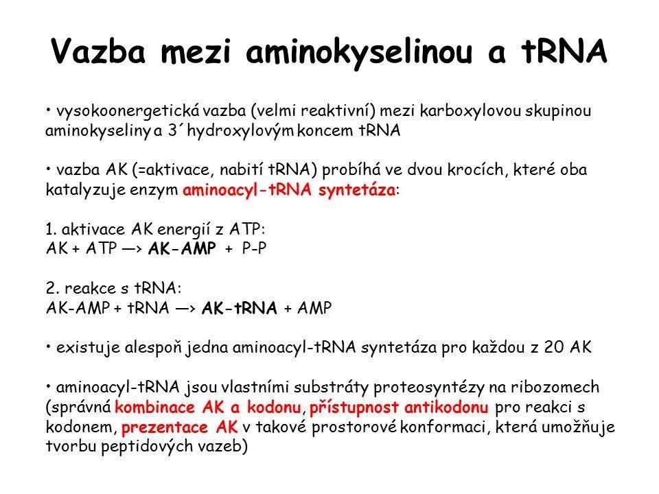 vysokoonergetická vazba (velmi reaktivní) mezi karboxylovou skupinou aminokyseliny a 3´hydroxylovým koncem tRNA vazba AK (=aktivace, nabití tRNA) prob