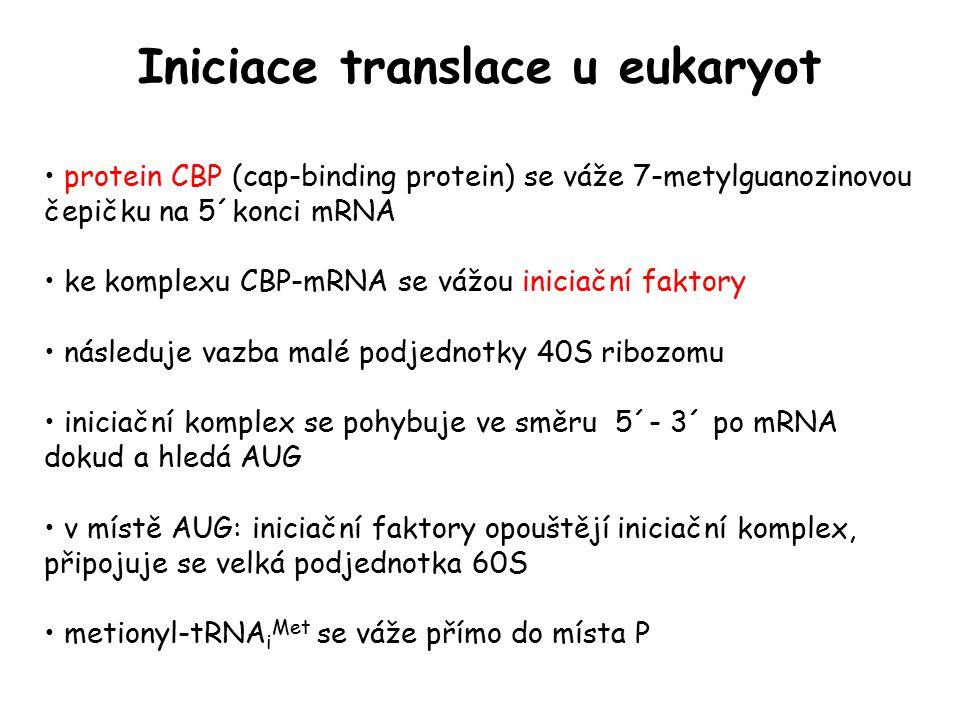 Iniciace translace u eukaryot protein CBP (cap-binding protein) se váže 7-metylguanozinovou čepičku na 5´konci mRNA ke komplexu CBP-mRNA se vážou inic