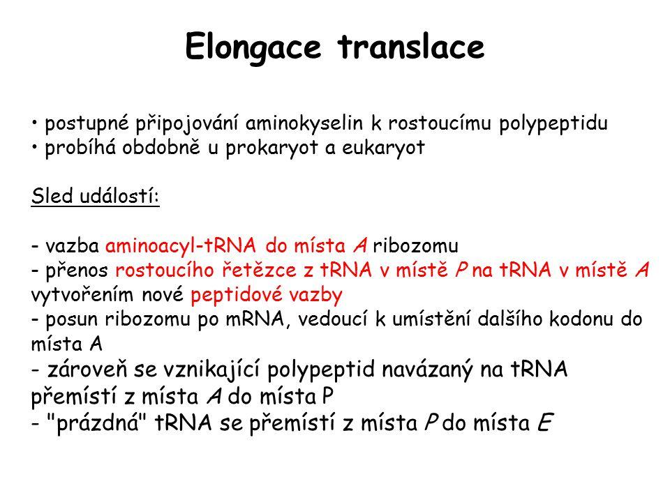 Elongace translace postupné připojování aminokyselin k rostoucímu polypeptidu probíhá obdobně u prokaryot a eukaryot Sled událostí: - vazba aminoacyl-