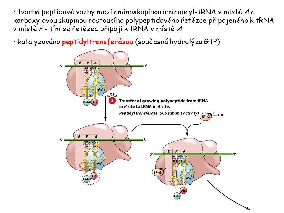 tvorba peptidové vazby mezi aminoskupinou aminoacyl-tRNA v místě A a karboxylovou skupinou rostoucího polypeptidového řetězce připojeného k tRNA v mís
