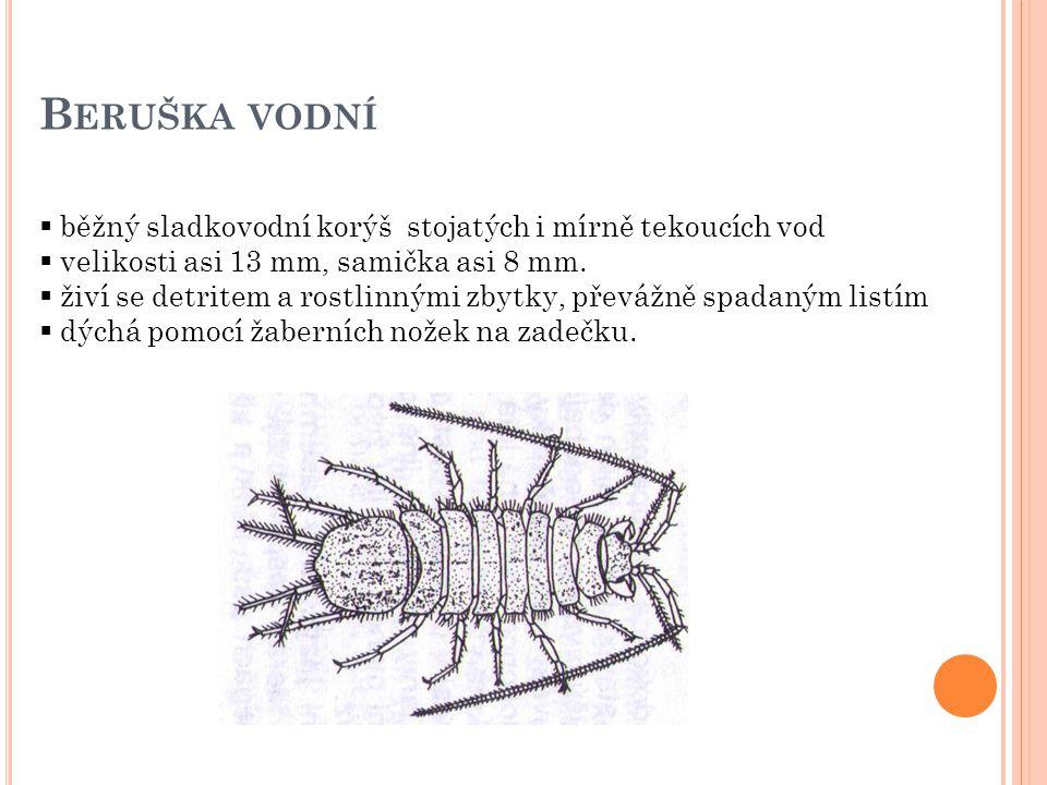 B ERUŠKA VODNÍ  běžný sladkovodní korýš stojatých i mírně tekoucích vod  velikosti asi 13 mm, samička asi 8 mm.