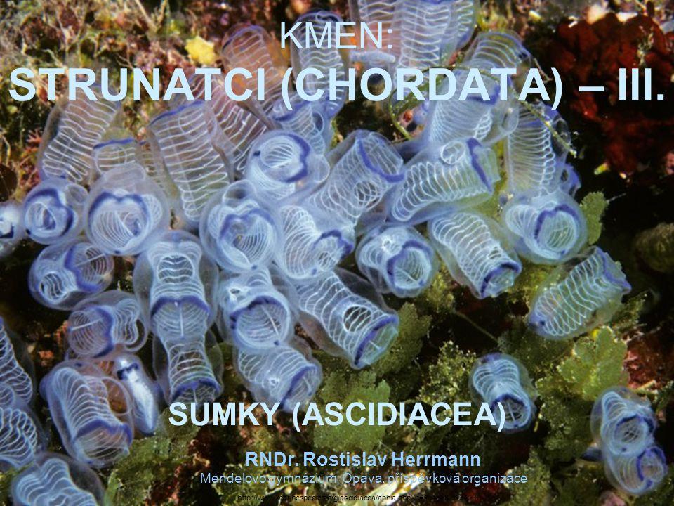 KMEN: STRUNATCI (CHORDATA) – III.SUMKY (ASCIDIACEA) RNDr.